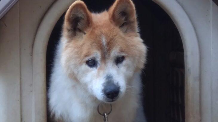 歩けなくなった15才の犬ブラン